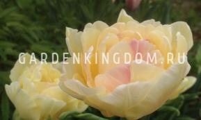 Тюльпан пионовидный  CHARMING LADY, 2 шт