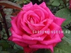 Роза чайно-гибридная ACAPELLA