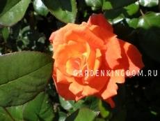 Роза чайно-гибридная ALLA