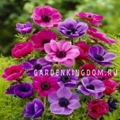 Анемона коронария  Смесь сортов PURPLE/PINK MIX, 5 шт