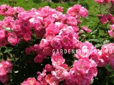 Роза парковая (грандифлора)  ANGELA