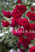 Роза плетистая BAYKAL