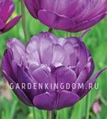 Тюльпан пионовидный  BLUE DIAMOND, 3 шт