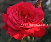 Роза чайно-гибридная BOTERO
