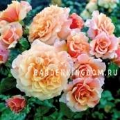 Роза парковая (грандифлора)  CARAMEL