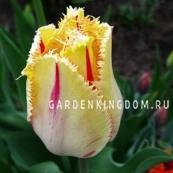 Тюльпан бахромчатый  CARROUSEL, 3 шт