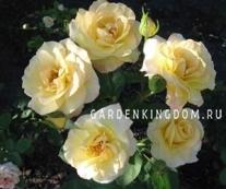 Роза плетистая CASINO