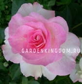 Роза флорибунда CHARLES AZNAVOUR