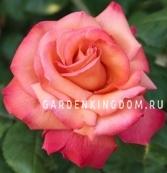 Роза чайно-гибридная CRISTIFORO COLOMBO