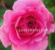 Роза флорибунда DIADEM MAGENTA