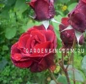 Роза плетистая DON JUAN