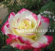Роза чайно-гибридная DOUBLE DELIGHT