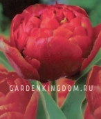 Тюльпан пионовидный  DOUBLE DUTCH, 3 шт