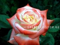 Роза чайно-гибридная EMPRESS FARAH