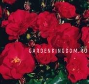 Роза парковая (грандифлора)  FONTAINE