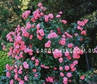 Роза плетистая GALIA