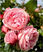 Роза парковая (грандифлора)  GIARDINA