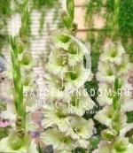 Гладиолус крупноцветковый МОВЕРЕ, 7 шт.