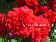 Роза плетистая GRANDESSA