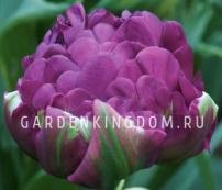 Тюльпан пионовидный  NEGRITA DOUBLE, 2 шт