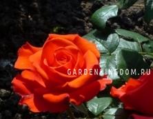 Роза чайно-гибридная HOLSTEINPERLE