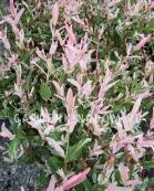 Ива цельнолистная Хакуро Нишики (Salix integra hakuro-nishiki)