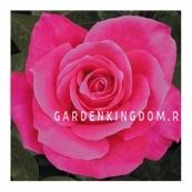 Роза чайно-гибридная JACARANDA