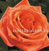 Роза флорибунда JANA