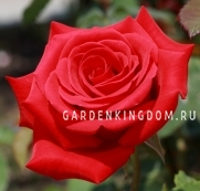 Роза чайно-гибридная KARDINAL