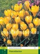 Крокус ботанический FUSCOTINCTUS, 5 шт