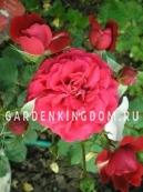 Роза флорибунда KRONBORG
