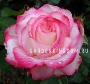 Роза флорибунда LAMINUETTE