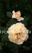 Роза флорибунда LANA