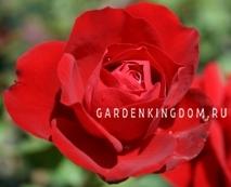 Роза флорибунда LILI MARLEN
