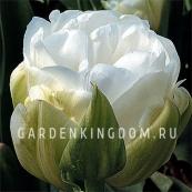 Тюльпан пионовидный  MAUREEN DOUBLE, 3 шт