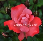 Роза флорибунда MUNCHEN KINDL