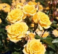 Роза миниатюрная MINI YELLOW