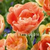 Тюльпан пионовидный  ORANGE ANGELIQUE, 2 шт