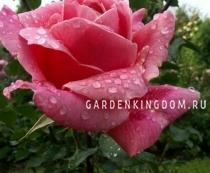 Роза флорибунда PAPILLON