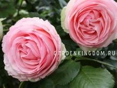Роза парковая (грандифлора)  PIERRE DE RONSARD