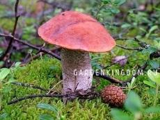 Подосиновик красный, мицелий на субстрате, 60 мл.