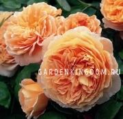 Роза густо-махровая CROWN PRINCESS MARGARETHA
