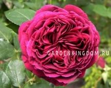Роза густо-махровая FALSTAFF