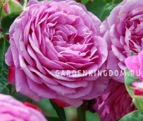 Роза густо-махровая OLD PORT