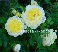 Роза густо-махровая THE PILGRIM