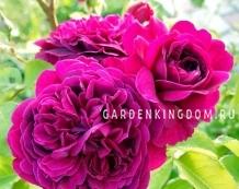Роза густо-махровая WILLIAM SHAKESPEARE
