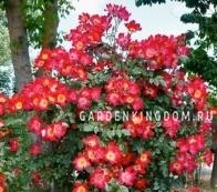 Роза плетистая COCKTAIL