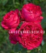 Роза плетистая ERIC TABARLY