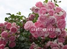 Роза плетистая JASMINA