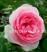 Роза плетистая KIR ROYAL